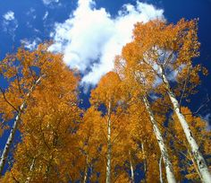 Witness the wonder of the changing of the leaves in Colorado - the Aspen trees are beautiful!