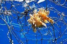 Sargassum Frog Fish In Net