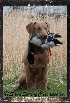Image Result For Duck Hunting Dog Trainings