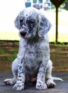 English Setter Pup ~ Classic Look & Trim