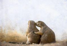 'Prairie Dog Love' von Barbara Magnuson & Larry Kimball bei artflakes.com als Poster oder Kunstdruck $17.33