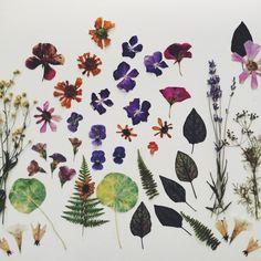 pressed flowers : Kirsten Rickert