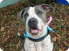 Pictures of BELLA a Pit Bull Terrier Mix for adoption in Austin, TX who needs a loving home.