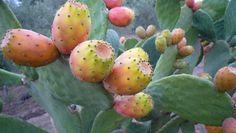 Opuntia ficus-indica-fichidindia
