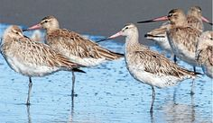 The Motueka Sandspit is the second most significant site for godwits in the region, with Farewell Spit hosting about last season and . Sea Birds, Wild Birds, The Departed, Cultural Significance, Wildlife Conservation, Bird Art, Kite, New Zealand, Nest
