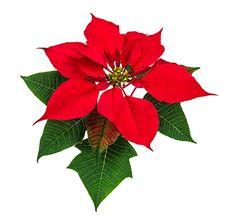 Se nesta semana o Natal já chegou aqui no Vamos Receber, nosso quadro de hoje não poderia ser sobre flor outra flor que não o tradicional Bico de Papagaio,