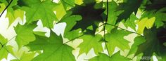 green maple leaves nature fresh cool facebook timeline profile cover. cool green maple leaves Canada fb timeline banner