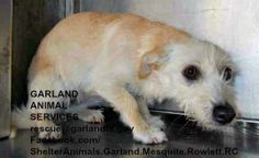 Garland, TX: ***RESCUE is fearful and did not make adoption program, needs to be pulled by rescue asap***ID#A187876 INTAKE 03/20, EVALUATION 3/25 I am an unaltered female, tan and white Cairn Terrier mix. GARLAND SHELTER 600 Tower Drive Garland, TX 75040 972-205-3570, Press option 2 then 4 rescue@garlandtx.gov.