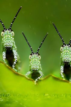 Grasshoppers...