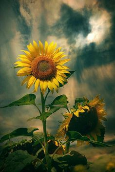 Sunflowers are beautiful.