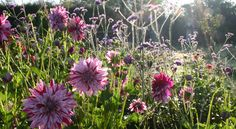 Eco, British cut flowers by post - the gardens at www.commonfarmflowers.com - we do love our dahlias