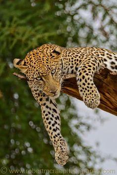 ~~Eye Contact ~ Award Winning Leopard image by Robert Mc Rae~~ #provestra