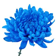 Blue Cremon Bulk Flowers start as fresh white flowers and are then tinted blue, giving you an amazing jewel toned color. A single flower with long petals surrou Blue Flowers Bouquet, Light Blue Flowers, Blue Wedding Flowers, All Flowers, Silver Flowers, White Flowers, Bridesmaid Bouquet, Wedding Bouquets, Bridesmaids