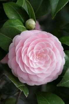 This beautiful pink Camellia rose has such lovely fractal designs in it -sr Small Pink Flowers, Exotic Flowers, Amazing Flowers, My Flower, Pretty Flowers, Pink Roses, Pale Pink, Beautiful Flowers Photos, Photos Of Flowers