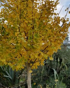Autumn Gingko. We're really doing this winter thing then... #fulltimeauthor #KTBowes Countries Of The World, New Zealand, Autumn, Pure Products, Winter, Plants, Winter Time, Fall Season, Fall
