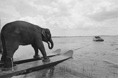 Ein Elefant auf Wasserski