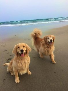 14 Lovely Photos Of Golden Retrievers Spending Time Near the Sea Retriever Puppy, Dogs Golden Retriever, Golden Retrievers, Golden Retriever Quotes, Cute Puppies, Cute Dogs, Dogs And Puppies, Doggies, Beautiful Dogs