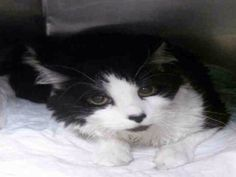 My name is SIERRA. My Animal ID #A1036651. 5yo male blk/whi LH #stray -#cat NYCACC Frightened of the chaotic shelter life, Sierra earned NH rating. He needs someone to share their home & love to allow him to feel secure. Please adopt foster TBD5/22