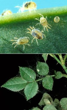 Spider mites They generally live on the undersides of leaves of plants, where they may spin protective silk webs, and they can cause damage. Garden Bugs, Garden Pests, Garden Fertilizers, Get Rid Of Spiders, Spider Mites, Rose Care, Plant Care, Dream Garden, Garden Projects