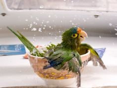 50 Photos of the Day by National Geographic vol. 5 - Bathing Parrot by Cesar Badilla