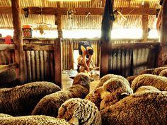 australian sheep shearing
