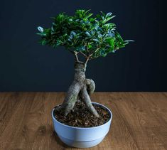 Ficus ginseng is a superb bonsai ficus tree with an appealing bulgy root trunk and inch-size deep green leaves. Terrarium Plants, Bonsai Plants, Cactus Plants, Ficus Microcarpa, Ficus Ginseng Bonsai, Ficus Tree, Green Leaves, Container Gardening, Home And Garden