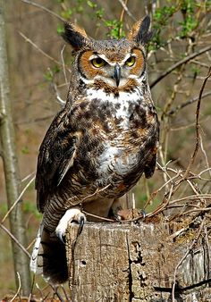 Download Great Horned Owl stock image. Image of tree, daylight - 8253915
