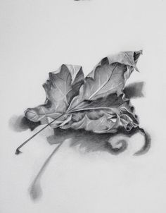 """""""Dried Maple Leaf"""" 11″ x 14″ 2017 Graphite on Paper"""