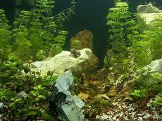 Aquarium design my akvaryum sesiflora karides bacopa monnieri