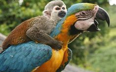 A lazy monkey hitches a ride to the top of a tree - sitting on the back of a macaw. The squirrel monkey hopped onto the bird and wrapped his arms around its neck to avoid the 26ft climb. He lives with a male and female blue and gold macaw at a countryside hotel, where they always eat and play together. Photographer Alejandro Jaramillo was in San Agustin, Colombia, when he noticed the unusual friendship.