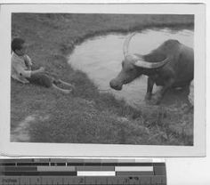 A water buffalo takes a bath at Wuchow, China, 1945 :: International Mission Photography Archive, ca.1860-ca.1960