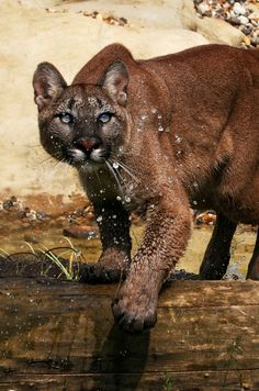 "earth-song:  ""Making a splash!"" by bigcatphotos UK  This is a stunning female Puma having fun in her pool."