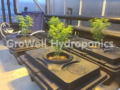 Basil in an IWS Rush System – soon to be replaced with Aubergines