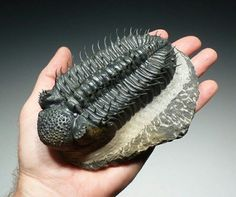 Trilobite.