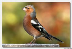 Chaffinch | Flickr - Photo Sharing!