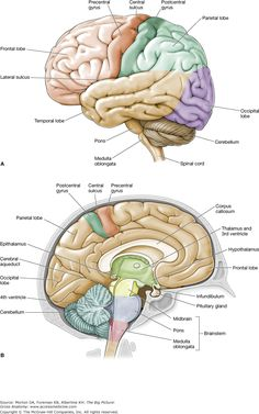 Label the Brain Worksheets (SB11585) - SparkleBox   Brain ...