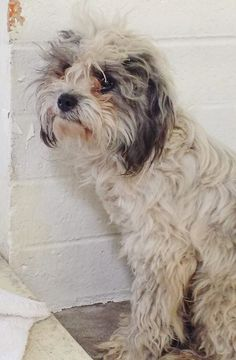 SAFE --- He's 2 and is trying to be brave and strong but you can see he is too scared to really move around. Please SHARE this beautiful boy, a FOSTER would save his life. Thanks!  #A4798381 I'm an approximately 2 year old male shih tzu. I am not yet neutered. https://www.facebook.com/171850219654287/photos/pb.171850219654287.-2207520000.1423345509./368145850024722/?type=3&theater