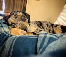 My Bentley boy a Louisiana Catahoula Leopard Dog #catahoulaleoparddog