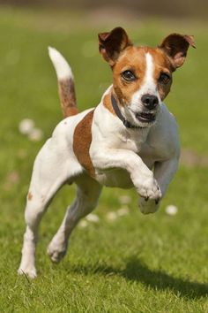 35 Small Dog Breeds That Make for Perfect Companions- 35 Small Dog Breeds That Make for Perfect Companions Jack Russell Terrier! Rat Terriers, Bull Terrier Dog, Terrier Breeds, Terrier Mix, Small Dog Breeds, Small Dogs, Jack Russell Terrier, Jack Terrier, Jack Russell Mix