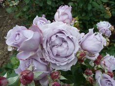 Poseidon Rose    Already have one and need to move it to another place in the yard.