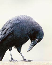 Crow by CJ Hockett, Portland photographer.  #crow #nature #photography