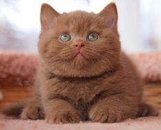 """Descendants - """"KOTOFFSKI"""" British Shorthair Cattery"""