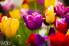 Tulips Bokeh by William Dodd on 500px