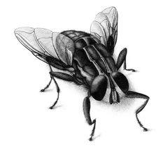 Tuschezeichnung Fliege, Insekt