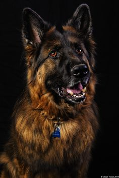 Maverick - This gorgeous dog is Maverick. One of the most beautiful dogs I've ever met!