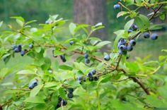 Keře kanadské borůvky dorůstají obvykle do výšky 1,5 až 2 metry. Edible Garden, Fruit, Gardening, Nature, Plants, Flowers, Ornamental Plants, Tips, Lawn And Garden
