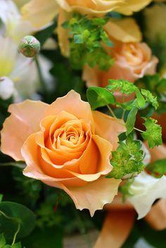 """""""Carpe Diem"""" Rose - floribunde"""