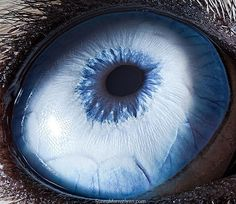 Suren Manvelyan photograph of a Husky dog eye. One can see details such as the irises' color gradients, textures, patterns and even tiny blood vessels.