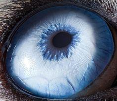 Animal eye up close (husky) by Jacob Paul Wiegmann, 2011