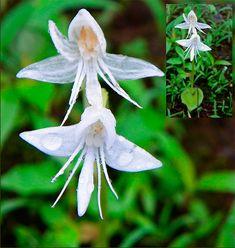 Орхидея – ангел (Habenaria Grandifloriformis)